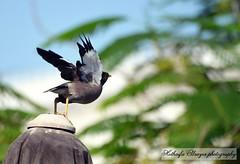 #myna #bird #fly #flying #birds #bokeh #uae #sharjah #alqasba #photography #photo #myphoto  #الشارقة #القصباء #طائر #المينا #تصوير #تصويري #فوتوغرافي #بوكيه (alrayes1977) Tags: bird birds photography fly flying photo bokeh uae myphoto sharjah myna تصوير القصباء تصويري الشارقة طائر alqasba فوتوغرافي المينا بوكيه