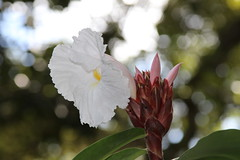 Ginger Lily (greenkayak) Tags: november white florida brandon gingerlily