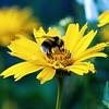 Beeautiful! (Jerry Tremaine Photography) Tags: summer flower macro london nature yellow bee pollen superaplus aplusphoto platinumheartaward hydepk