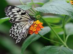 Demi-deuil JVA_0371 (mrjean.eu) Tags: sara sp atlas demi insectes attacus papillons heliconiinae deuil heliconius phaetusa dryatula