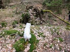 Smulan... (carina.ericsson) Tags: dog forest jack sweden russel kvillinge