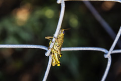Grasshopper (chrislucero719) Tags: macro insect bokeh wildlife grasshopper t5i