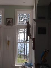 Paka (Pogniforous1) Tags: cat maine savannah islesboro