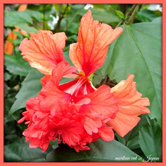 """""""The wonderful thing about flowers is how they smile when they bloom."""" (martian cat) Tags: hibiscus macro flower ©martiancatinjapan allrightsreserved© ©allrightsreserved nature martiancatinjapan© flowers garden diamondclassphotographer flickrdiamond ☺allrightsreserved allrightsreserved ☺martiancatinjapan martiancat martiancat© ©martiancat martiancatinjapan"""