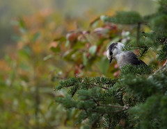 A Pretty Perch with a Nod of the Head (maureen.elliott) Tags: nature birds outdoors wildlife algonquinpark greyjay