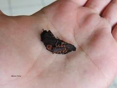 Pequeno visitante (Tityus bahiensis) (Allyson Vieira) Tags: scorpion marrom aracnideo escorpio tityus bahiensis