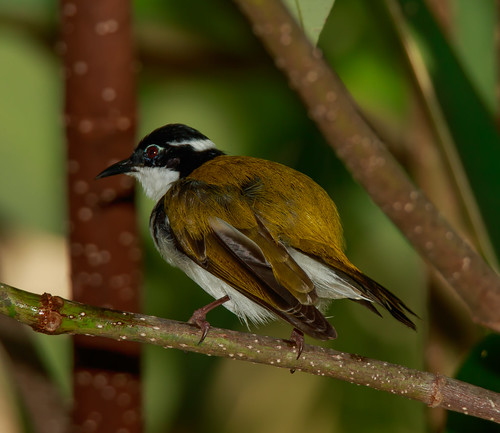 White Throated Honeyeater (Melithreptus albogularis) (13.5 centimetres)