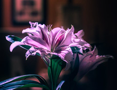 DSC_9346-2 (louis_mancuso) Tags: christmas flowers winter flower macro fleur nikon lily bokeh stargazer lilies micro fleurdelis studiolighting macrophotography microphotography 2015 stargazers d7000 winter2015 christmas2015 christmastree2015