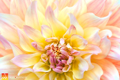 Dahlia-33 (Nualchemist) Tags: flower plant nature simplyflowers petals pink bloom green greenleaves floralphotography dahlia yellow red summer fullbloom botanical bright light floral heavenly macro orange 2016dahiashow colorful white closeup delightful glorious magical soft goldengatepark pretty palepink lightpink enchanting sanfrancisco singleflower cheerful joyful delight california colors palette botanicalgarden organicpattern purple lavender designbynature geometric elementsofdesign silky velvet softlight veil tender flame fire satin translucent