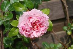 Jesu, deine Liebesflamme (amras_de) Tags: rose rosen ruža rosa ruže rozo roos arrosa ruusut rós rózsa rože rozes rozen roser róza trandafir vrtnica rossläktet gül blüte blume flor cvijet kvet blomst flower floro õis lore kukka fleur bláth virág blóm fiore flos žiedas zieds bloem blome kwiat floare ciuri flouer cvet blomma çiçek
