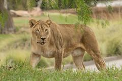 Etosha (ToddLahman) Tags: etosha lion lions lioncamp lioness mbari sandiegozoosafaripark safaripark canon7dmkii canon canon100400 escondido