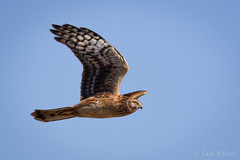 Flyby Northern Harrier (Sam Dubbz) Tags: hunt harrier raptor sky beach dunes cape may migration