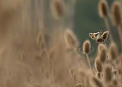 Stieglitz (Carduelis carduelis) (Chris Nature) Tags: vogel bird nature naturfotographie wildlife autum herbst blume carde distel korn distelfink braun gelb rot offenland des jahres