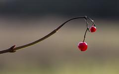Preparations (shawnraisin d+p) Tags: canon6d macro nature plant shawnwhite autumn berries buds countryside red llangybi wales unitedkingdom gb