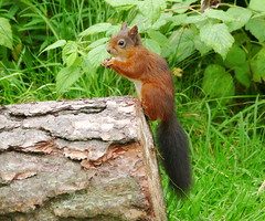 Red Squirrel in Tentsmuir forest. (eric robb niven) Tags: ericrobbniven redsquirrel wildlife nature scotland dundee tentsmuir morton loch summerwatch