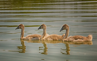 Mute Swans - Immature - (Explored)