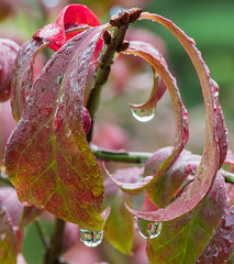Drops on the Edge (jeff's pixels) Tags: hmm macromonday edge flower water drop nikon d500 105mm leaf nature beauty macro