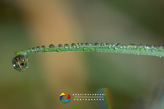 Rugiada al mattino (angeloscarponi) Tags: macro rugiada mattina freddo nikon nikond800 nikor105
