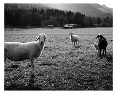 Some friends (Davide Bon) Tags: mountain nikon d7100 35mm18 35mm italy tarvisio vscofilm vsco igersfvg blackandwhite bw sheep countryside field