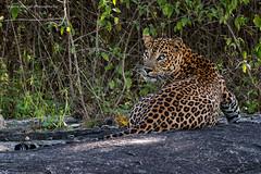L E O P A R D (Asaru Kariyil Photography) Tags: leopard cat wild nikon nikond500 photography photographer bandhipur inida juncle sighting first luckyshot