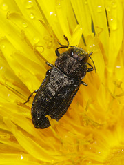 Anthaxia sp (tristanba) Tags: coleoptera buprestidae