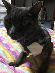 Bonkers' Portrait (sjrankin) Tags: 25october2016 edited yubari hokkaido japan animal cat bonkers sweater futon closeup