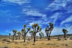 Joshua Tree National Park (Six Sigma Man (2.300.000 views)) Tags: joshuatreenationalpark joshuatree mojavedesert desert nikon nikond3200 1001nights sky california