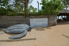 DSC_8663 (H Sinica) Tags: srilanka  ceylon  kosgoda turtle farm hatchery
