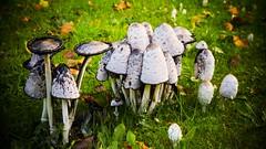 Mes premiers champignons (Yasmine Hens) Tags: macro champignons hensyasmine namur belgium wallonie europa aaa  belgique blgica    belgio  belgia   bel be 7dwf