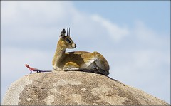 frica (Juan Di Lullo) Tags: 2015 accion africa antilope lagarto naturaleza tanzania viaje