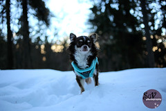47 52 weeks of Tartuffe - Hearing wolves (sgv cats and dogs) Tags: 52weeksfordogs chihuahua forest snow scary noises alert bokeh sunset