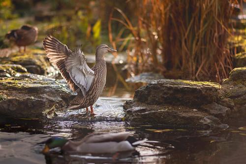 Backlit duck