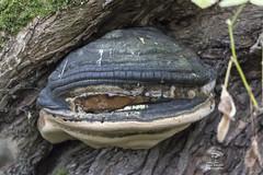 Willow Bracket Fungus (roderick smith) Tags: phellinusigniarius willowbracketfungus falsetinderfungus salix attenboroughnaturereserve nottinghamshirewildlifetrust canon eos80d sigma105mmosmacro