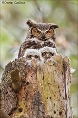 Great Horned Owl Family (Daniel Cadieux) Tags: owl greathornedowl babies nestlings family brood nest forest woods ottawa familyportrait