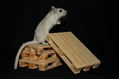 IMG_1516 (3) (DanMarty92) Tags: gerbil pet rodent pallet crate grey cute