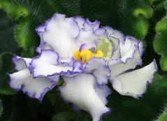 12-IMG_4728 (hemingwayfoto) Tags: berggartenhannover blhen blte blume flora floristik macro natur topfpflanze usambara usambaraveilchenlevypusknica veilchen vorauswahlfrkalender zierpflanze zuchtform