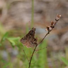 Juvenal's Duskywing_3610 (Erynnis juvenalis ) wings retracted part way (agawa2yukon) Tags: hesperiidae pyrginae butterflies butterfly algoma lepidoptera