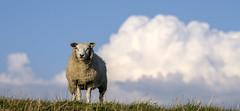 Standing guard (Wouter de Bruijn) Tags: fujifilm xt1 fujinonxf90mmf2rlmwr sheep guard curious animal nature clouds landscape outdoor