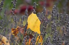 (careth@2012) Tags: leaf autumn fall nature scene scenery scenic view