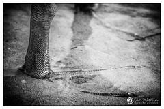 Die Fe, einfach mal ins kalte Nass stellen. #schwan #wasser #kalt #eisfsse #kalte #fsse #photographie #picoftheday #schwarzweiss #blackandwhitephoto #foot (gestalterecke.de) Tags: fotografie harrislee flensburg gestalterecke me follow photooftheday happy picoftheday swag amazing
