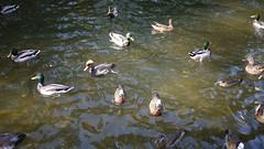 21-10-2016 011 (Jusotil_1943) Tags: 21102016 patos ducks agua water