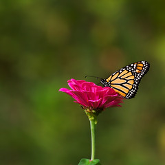 20140911_garden flowers_0083 (zoomclic) Tags: canon colorful closeup nature flower foliage plant red orange outdoors green garden bokeh dof dreamy butterfly monarch zinnia summer serene threesome portrait zoomclicphotography canoneos7d ef100400mmf4556lisusm