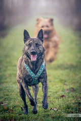 Running Dogs (Thorsten Hansen) Tags: berger briard brie dog dutch dutchshepherddog herder hollandse hollandseherdershond holländisch hund hütehund schäferhund tierfotografie animal fauve französisch herdingdog