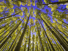 Up Through The Fall Aspens III (Mabry Campbell) Tags: 2016 h5d50c hasselblad houstonphotographer mabrycampbell nm newmexico october santafe santafecounty santafenationalforest usa unitedstatesofamerica alpine aspen aspens autumn commercialphotography fall fineart fineartphotography image intimatelandscape landscape landscpae outdoors photo photograph photography tree trees up vertical f48 october42016 20161004campbellb0000567 24mm sec 100 hcd24
