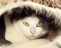 Sophie (Shutters for Shelters) Tags: tellercountyregionalanimalshelter s4s cats jillt8 sophie hiding colorado shuttersforshelters