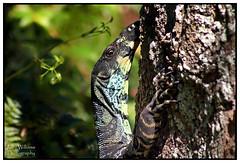 Goanna Stare! (juliewilliams11) Tags: outdoor photoborder goanna lizzard fauna animal tree reptile newsouthwales australia watching stare