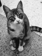 Wild Cat (TitusT1960) Tags: 30faves steunerkatze straycat treuekatze schwarzundweis monochrom monocromatico bw nikondigital 25faves nikonp7100 p7100 nikon blackandwhite cat katze