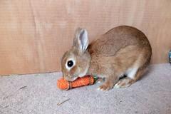 Ichigo san 474 (mensore) Tags:  rabbit bunny netherlanddwarf brown cute pet family ichigo