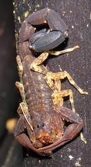 Tityus sp., scorpion (Birdernaturalist) Tags: arachnida buthidae ecuador richhoyer