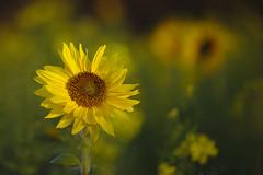 Autumn sunflowers (de_frakke) Tags: sunflower autumn november yellow geel zonnebloem